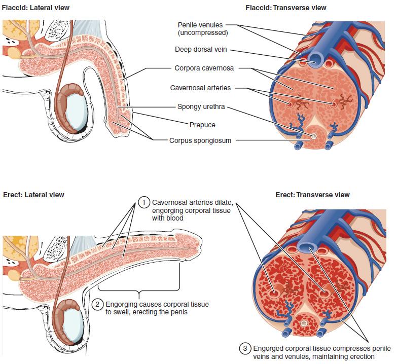 Help erection 🏆 penis External Penile
